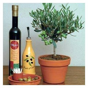 Seeds and Things Olive Tree 10 Seeds - Olea Europaea - Great Houseplant It Is of Major Agricultural Importance in the Mediterranean Region As the Source of Olives and Olive Oil. Makes a Great Bonsai.