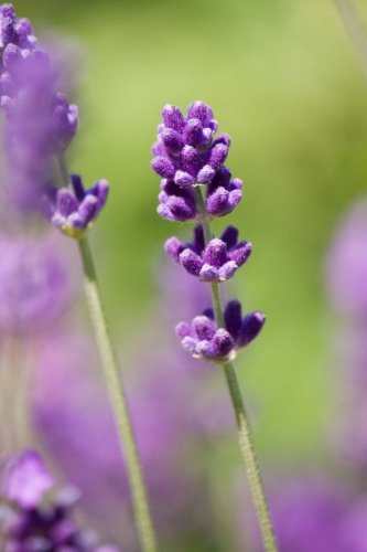 Close-up of Lavender, For the Love of Flowers: Blank 150 page lined journal for your thoughts, ideas, and inspiration