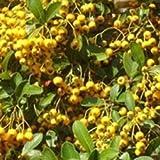 PYRACANTHA Soleil d'Or (Golden Sun) - Firethorn - 3 Litre Pot