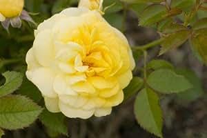 Amazon Com Easy Elegance Rose Music Box 2 Gal