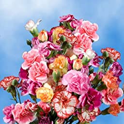 160 Stems of Fresh Cut Assorted Colors Spray Carnations | 640 Blooms | Fresh Flowers Express Delivery | Perfect for Birthdays, Anniversary or any occasion.