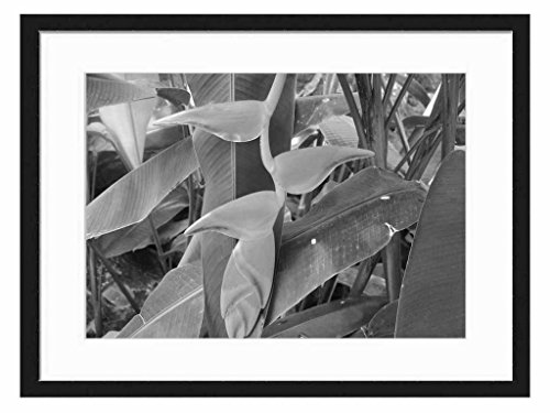 Lobster Claw from South America - Art Print Wall Solid Wood Framed Picture (Black & White 20x14 inches)