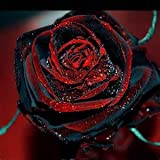 100 Rare Rose Seeds Black Rose Flower With Red Edge Rare Rose Flowers Seeds.For Garden Bonsai Planting 2