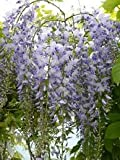 WISTERIA FLORIBUNDA 'LAWRENCE' IN 3 LITRE POT