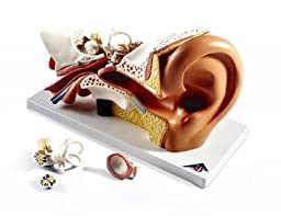 AWW E10 Giant Ear-Classic Version 3 Times Life-Size, 4 Part