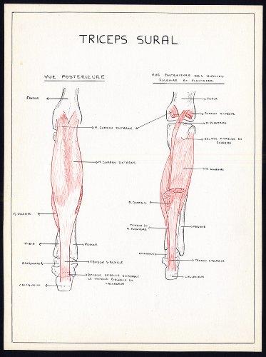 2-original-anatomical-drawings-triceps-surae-calf-muscle-leg-soleus-1975