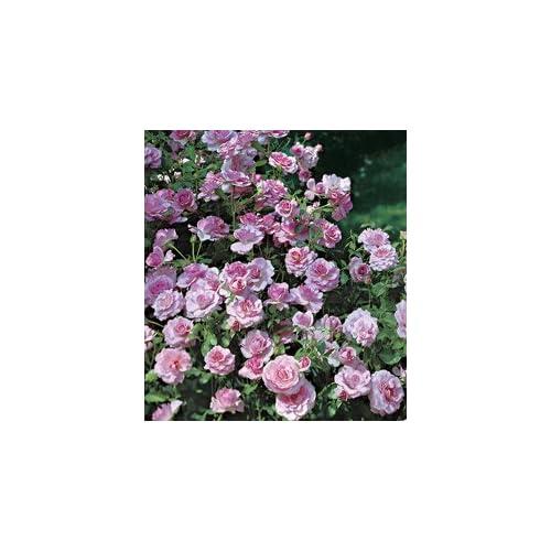 Amazon.com : Fragrant Lavender Simplicity Hedge Rose