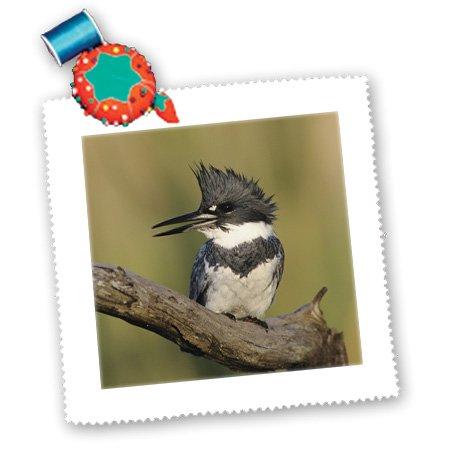 qs_84426_2 Danita Delimont - Birds - Belted Kingfisher bird, Rio Grande Valley, Texas - NA02 RNU0400 - Rolf Nussbaumer - Quilt Squares - 6x6 inch quilt square
