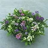 SEED BARGAINS: Alyssum Wonderland Mixed (Approx 300 Commercial Grade Seeds)