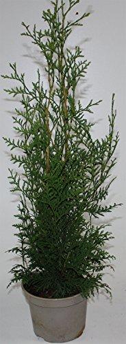 smaragd lebensbaum 6 st ck f r 2 m hecke thuja occidentalis smaragd 50 60 cm. Black Bedroom Furniture Sets. Home Design Ideas