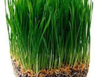Organic (Certified USDA)Hard Red Wheat Seeds by Stonysoil Seed Company for growing Wheat grass for juicing,or Sprouting (Non Gmo Wheatgrass Seeds compare prices)