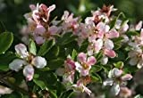 Sycamore Trading ESCALLONIA Peach Blossom x 5 Young Plants