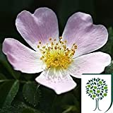 Dog Rose (Rosa canina) 40/60cms Bare Root 1yr old (1+0 LD) pack of 25