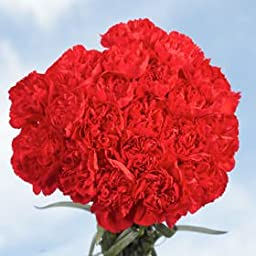 200 Fresh Cut Red Carnations | Fresh Flowers Wholesale Express Delivery | Perfect for Birthdays, Anniversary or any occasion.