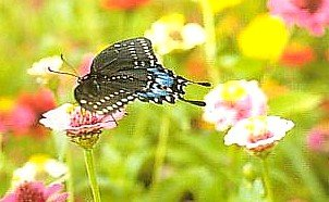 Buy Wildflower Butterfly Mix Seeds -1/4 lb. Covers 75 sq.ft