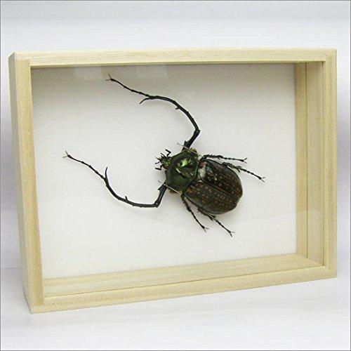虫の標本 テナガコガネ C.parryi