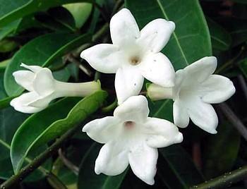Madagascar Jasmine Plant - Stephanotis - Bridal Wreath
