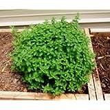 Oregano Herb 500 Seeds - GARDEN FRESH PACK!