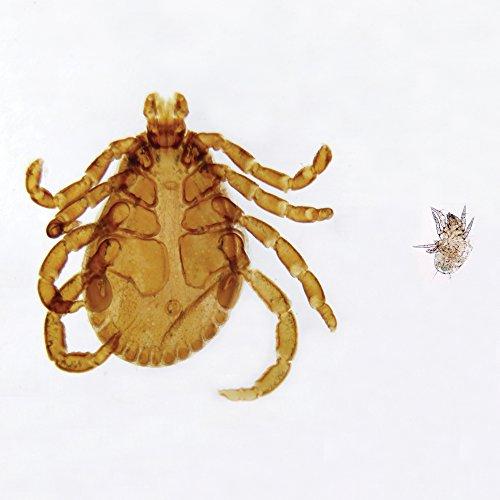tick-and-mite-wm-microscope-slide