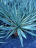 Gardening Companions - Varigated Yucca Gloriosa