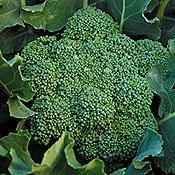 Green Calabrese Broccoli 500 Seeds-GARDEN FRESH!