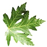 Sugar Maple Tree - 2'-4' Tall - Healthy Established Roots - Gallon Potted - 1 Plant by Growers Solution