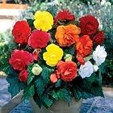 10 Begonia Bulbs / Tubers - Double Grandiflora Type - 2 Each of 5 Colours - Free UK P & P