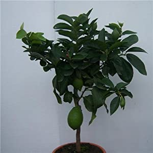LEMON TREE WITH LEMON ON- SUPERB GIFT for mother father friend easter