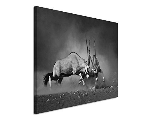 50x70cm Leinwandbild schwarz weiß in Topqualität Kampf Gemsbock Etosha-Nationalpark