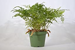 9GreenBox - Brown Rabbit\'s Foot Fern - 4\'\' Pot