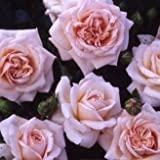 Penny Lane Climbing Rose - BARE ROOT Rose - AVAILABLE NOW - GIFT PRESENT