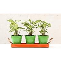 Green Gardenia Table Top Green Pots With Orange Tray