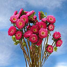 10 Bunches of Fresh Cut Hot Pink Aster Matsumoto Flowers | Fresh Flowers Express Delivery | Perfect for Birthdays, Anniversary or any occasion.