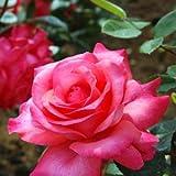 バラ大苗 ハイブリッドティー  スペルバウンド 6号鉢 四季咲き大輪 赤系【バラ】【バラ苗】【バラ大苗】