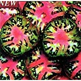 Black Sea Man Tomato 10 Seeds - Heirloom ~ Hirts: Seed; Tomato