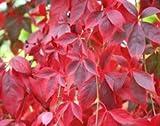Virginia creeper (Parthenocissus quinquefolia )