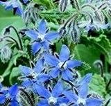 Suffolk Herbs - Borage