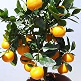 DWARF Citrus Tree Collection: Calamondin Orange, Meyer Lemon & Key Lime [COL01]