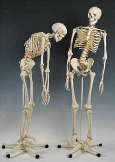 Flexible Mr. Thrifty Skeleton With Spinal Nerves (Spinal Cord Model compare prices)
