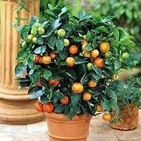 Image Result For Potted Lemon Tree Care
