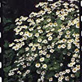 Suffolk Herbs Pictorial Pack - Feverfew - Tanacetum parthenium