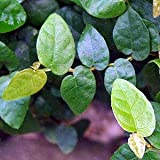 Green Creeping Fig Plant - Ficus pumila - Houseplant/Terrarium