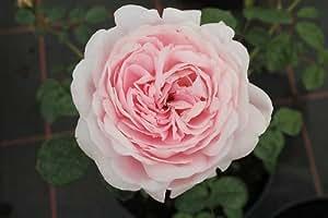 Englische Rose Queen of Sweden ® Austiger ® Containerrosen im großen 7,5 Liter Topf