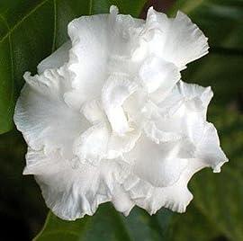 Dbl Butterfly Jasmine Plant-Tabernaemontana Flore Plena