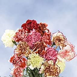 Premium Color Carnations | 350 Assorted Color Carnations Fancy