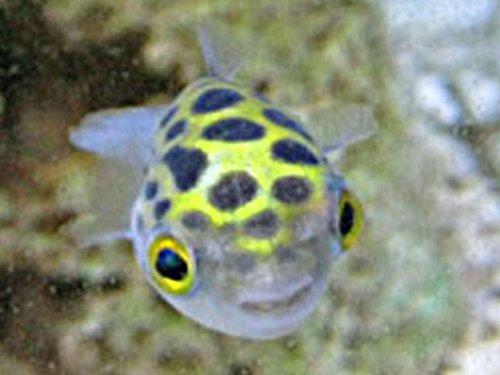 熱帯魚 ミドリフグ 2-3cm