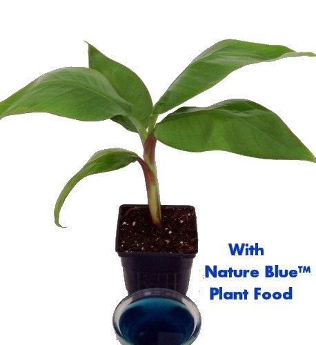 Dwarf Banana Plant - Musa - With Nature BlueTM Plant Food - 4