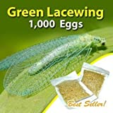 Green Lacewing 1000 Eggs - Good Bugs - Aphid Exterminator