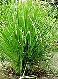 LEMON GRASS - INDIAN HERB - 30 SEEDS