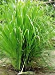 LEMON GRASS - INDIAN HERB - 30 SEEDS